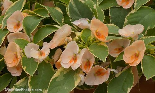 Impatiens 'Fusion Peach Frost': harmonious flower and foliage colors. Image ©GardenPhotos.com