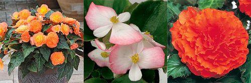 Begonia 'Peardrops', Begonia 'Volumia Rose Bicolour', Begonia 'Nonstop Golden Orange' Images ©RHS