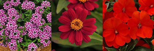 Verbena 'Lanai® Candy Cane', Zinnia 'Zahara™ Cherry', Impatiens 'SunPatiens® Compact Electric Orange' Images ©American Garden Award