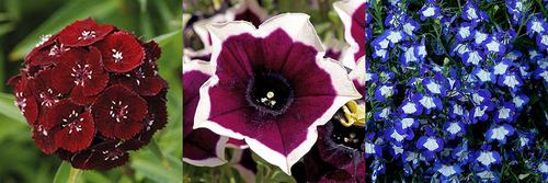 Dianthus barbatus (Sweet William) 'Sweet Black Cherry', Petunia 'Cascadia™ Rim Magenta', Lobelia 'Waterfall Blue Ice'. Images ©Ball Colegrave
