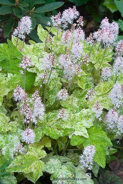 Flowers of Tiarella 'Mystic Mist' - a Powerhouse Perennial For All Seasons. Image ©GardenPhotos.com