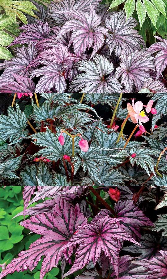 New Begonias Foliage Varieties Transatlantic Gardener