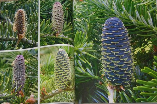 Abies koreana cones in the RHS Encyclopedia of Conifers