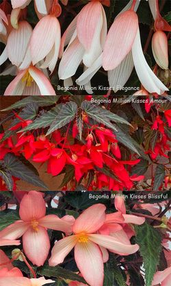 Begonia Million Kisses Elegance, Amour and Blissful. Images ©GardenPhotos.com and ©Ball Colegrave