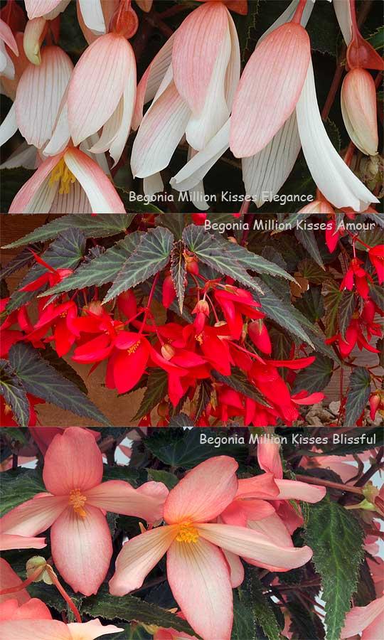 BegoniaMillionKissesThree