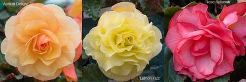 Begonia Fragrant Falls Apricot Delight, Lemon Fizz and Rose Syllabub. Images ©Thompson & Morgan