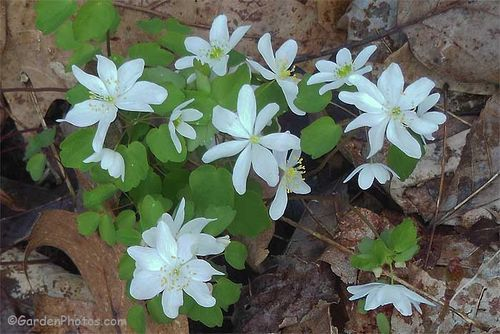 Anemonella thalictroides growing in an unexpectedly damp place. Image ©GardenPhotos.com
