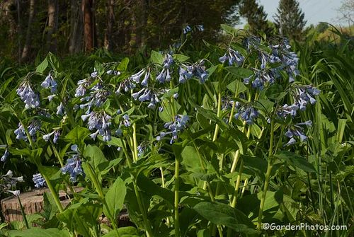 Mertensia virginica growing on a streamside in PA. Image ©GardenPhotos.com