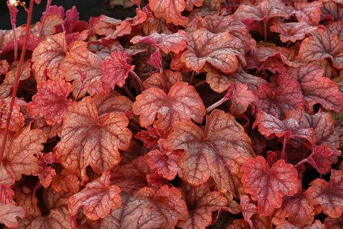 xHeucherella 'Copper Cascade' - you can see why I was tempted. Image ©Terra Nova Nurseries