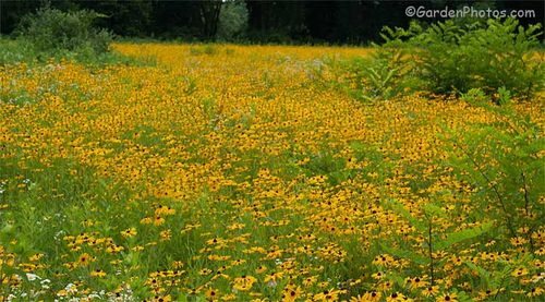 Black-eyed Susan (Rudbeckia hirta) growing in the Delaware Water Gap National Recreation Area. Image © GardenPhotos.com