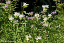 A white-flowered form of wild bergamot, Monarda fistulosa. Image ©GardenPhotos.com