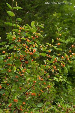 An Asian bush honeysuckle with attractive amber berries. Image ©GardenPhotos.com
