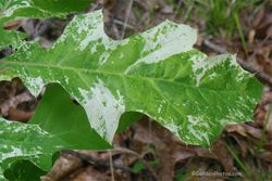 Variegated seedling of red oak, Quercus rubra. Image ©GardenPhotos.com
