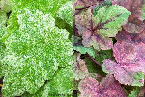 Foliage of Tiarella 'Mystic Mist' - a Powerhouse Perennial For All Seasons. Images ©GardenPhotos.com