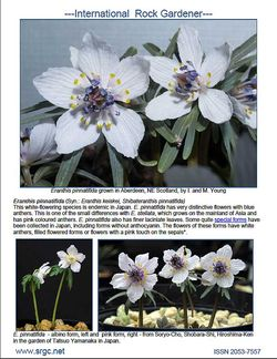 White-flowered Eranthis pinnatifida featured in the January 2014 issue of The International Rock Gardener