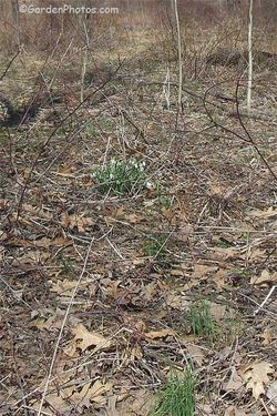 Snowdrops naturalized in Pennsylvania: 2014. Image ©GardenPhotos.com