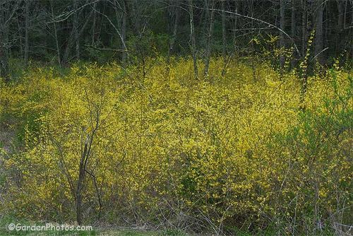 Forsythia growing in the woods is usually a sign of an old homestead. Image ©GardenPhotos.com