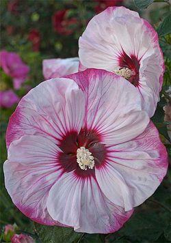 HibiscusSummerificCherryCheesecake-700