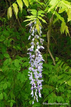 These strings of flowers of the Japanese Wisteria are longer and earlier than those of the native species. Image ©GardenPhotos.com