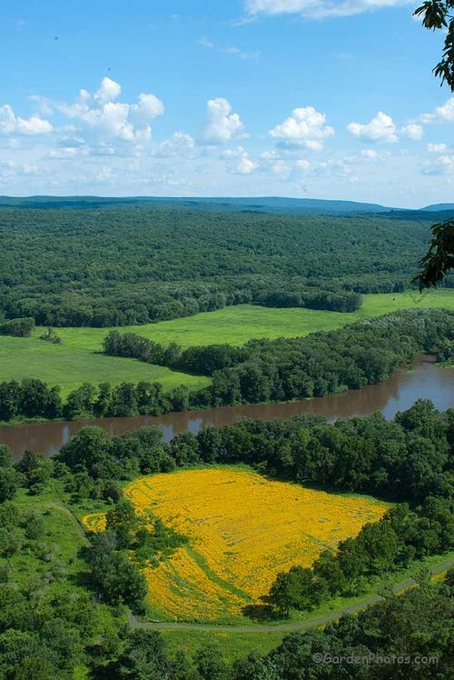 Field of Rudbeckia hirta (Black-eyed Susan) seen from the overlook above Cliff Park, Milford, PA. Image ©GardenPhotos.com