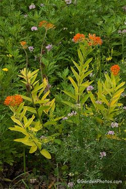 Asclepias tuberosus (butterfly weed) with golden leaves. Image ©GardenPhotos.com