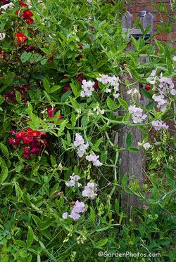 Lathyrus latifolius 'Blushing Bride' with the rose 'Suffolk', also known as 'Bassino'. Image © GardenPhotos.com