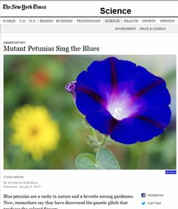 Mutant Petunias Sing The Blues - New York Times 6 January 2014. Screen shot from NY Times website, Jan 6, 2014, by BotanicalAccuracy.com