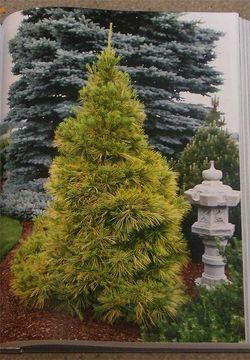 PinusstrobusLouie900