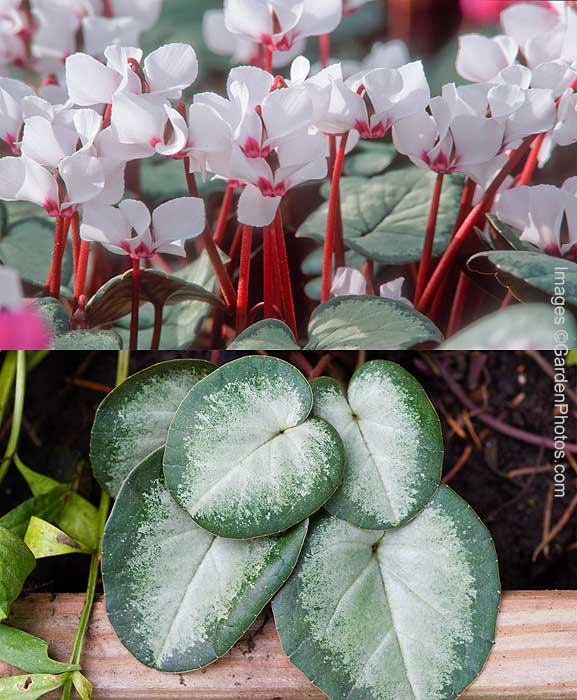 Cyclamen-coum-2UP