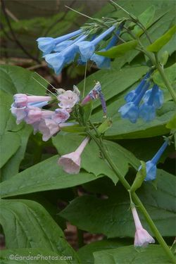 A pink flowered shoot on a plant of Mertensia virginica in the garden. Image ©GardenPhotos.com