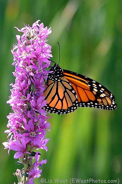 MonarchonPurpleLoosestrife