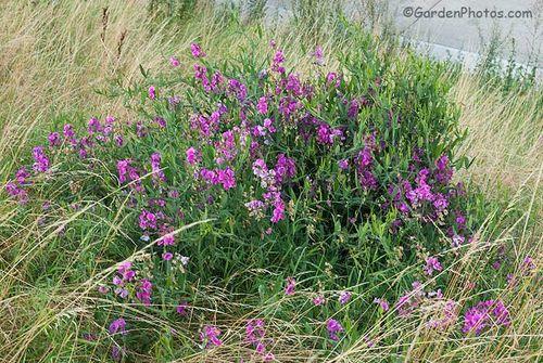 Lathyrus latifolius growing by the roadside in Suffolk, England. Image © GardenPhotos.com