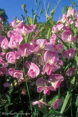 Lathyrus latifolius 'Rosa Perle', as grown at East lambrook Manor in Somerset many years ago. Image © GardenPhotos.com