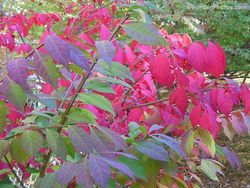 Fall color on two plants of Euonymus alatus maturing at different times. Image ©GardenPhotos.com