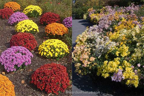 Chrysanthemums as footstools and in a crowded border. Image ©GardenPhotos.com