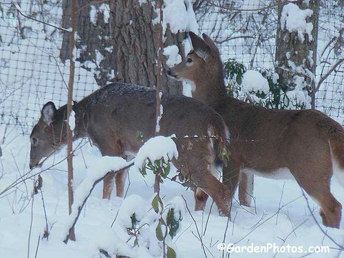 Deer munching as they wait to be chased out from inside the fence. Image ©GardenPhotos.com