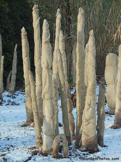 Winter banana protection at the RHS Garden, Wisley. Image ©GardenPhotos.com