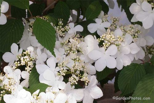 Viburnum Kilimanjaro Sunset: Chelsea Plant Of The Year Image ©GardenPhotos.com