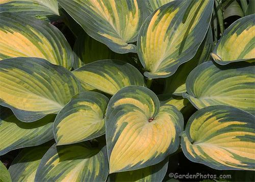 Hosta 'June' - no slug damage. Image ©GardenPhotos.com