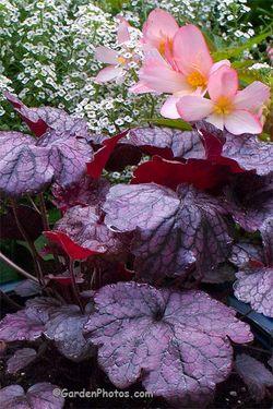 Heuchera 'Grape Expectations', Begonia 'Truffle Cream', Alyssum 'Snow Princess'. Image ©GardenPhotos.com