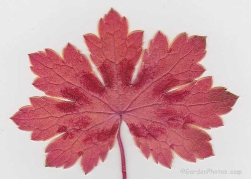 Geranium phaeum 'Samobor' seedling with startling fall leaf color. Image ©GardenPhotos.com