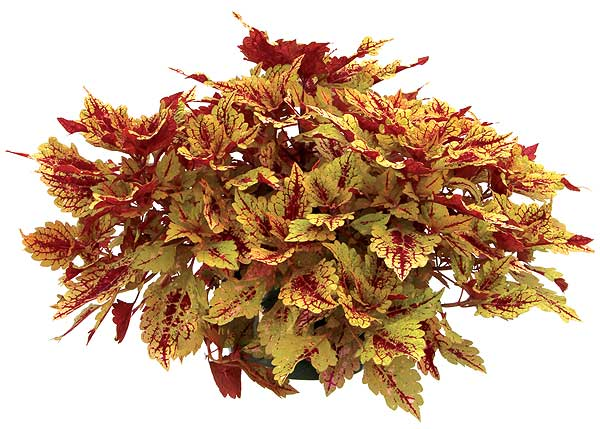 Coleus 'Color Clouds Honey Pie' Image ©Terra Nova Nurseries