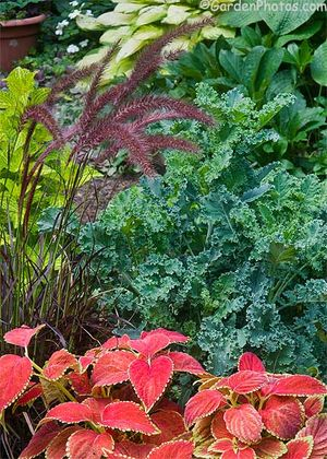 'Rustic Orange' coleus, curly Kale, 'Pineapple Beauty' coleus and Pennisetum setaceum 'Rubrum'. Image ©GardenPhotos.com