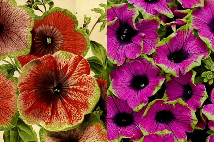 Green-edged petunias now and then. Pretty Much Picasso image ©provenwinners.com