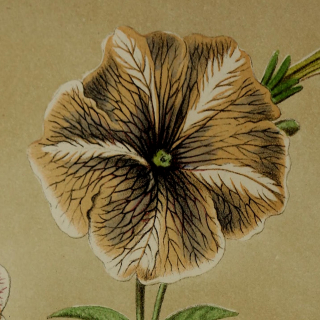 Nineteenth century chocolate veined, coffee and white star petunia