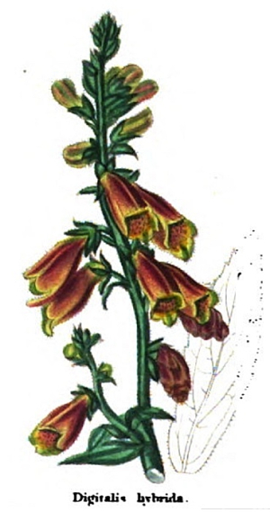 Campbell's Hybrid Foxglove from 1825, said to be a cross with a gloxinia