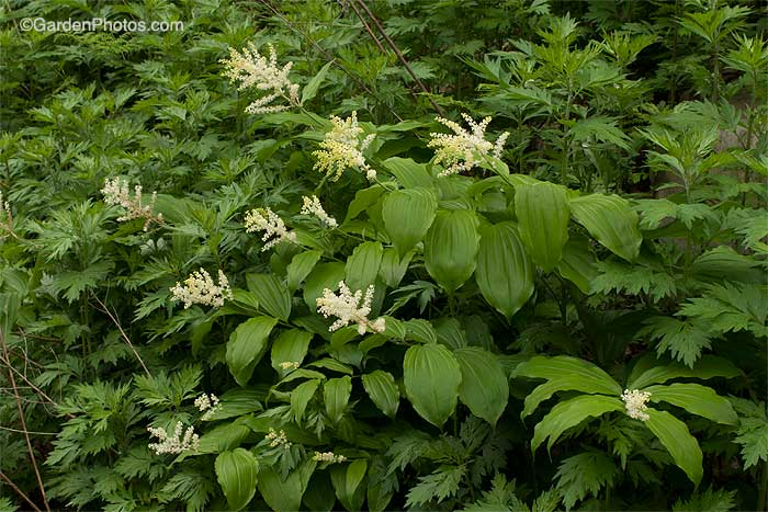 False Solomon's seal (Maianthemum racemosum) growing on a Pennsylvania roadside=