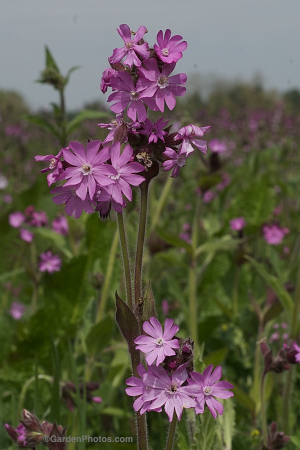 One of the many variants of Silene dioica found in the Fotheringhay field. Image ©GardenPhotos.com