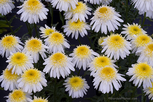 Leucanthemum 'Real 'Glory'. Image ©GardenPhotos.com