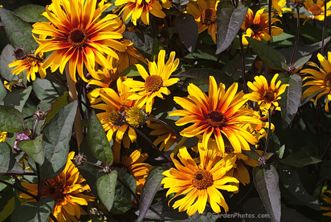 Heliopsis Burning Hearts_G022907